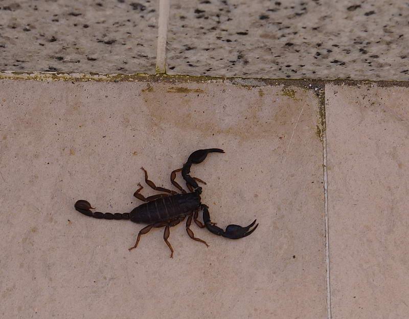 schwarzer skorpion kroatien